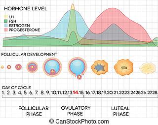 Ciclo menstrual femenino, proceso de ovulación y niveles hormonales