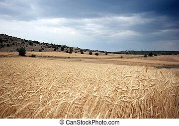 Cielo dramático y trigo
