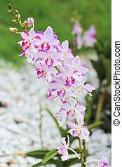 Cierro orquídea rosa y blanca en el jardín