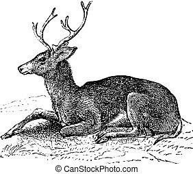 Ciervo de mulas o grabado antiguo Odocoileus hemionus