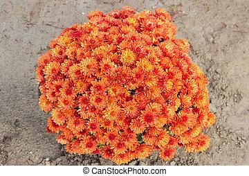 cima, arbusto, rojo-anaranjado, flores, crisantemos, vista