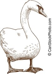 cisne, antigüedad, blanco, grabado, ilustración
