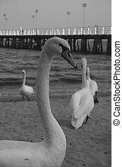 Cisnes y pier - B+W