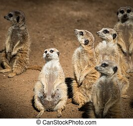 clan, hermoso, meerkats