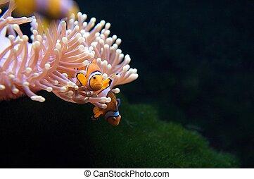 clownfish, anémona