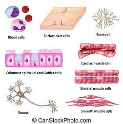 Colección de células humanas