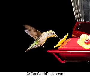 colibrí, alimentador, aislado, negro