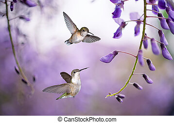 Colibríes sobre el fondo de la wisteria púrpura