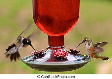 colibrís, alimentador