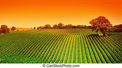 Colinas de viñedos al amanecer