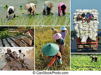 Collage de agricultura de campo de arroz