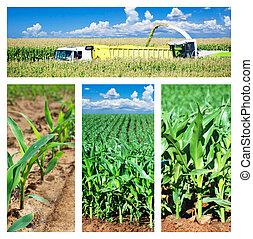 Collage de maíz en el campo