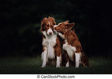 collie, dos, besar, frontera, perros, parque