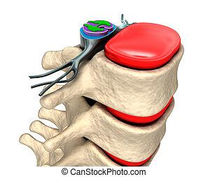 columna, espinal, discos, nervios