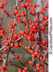 común, winterberry