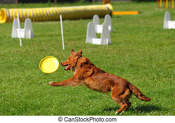 Competencia de perros saltarines de agilidad, fronterizo collie