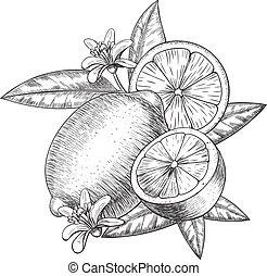 Con mano de vector, lima o limón. Rebanadas, mitad cortadas, dejar boceto. Ilustración de estilo grabado con fruta. Dibujo de cítricos detallados. Genial para el agua, la bebida de desintoxicación, cosméticos naturales