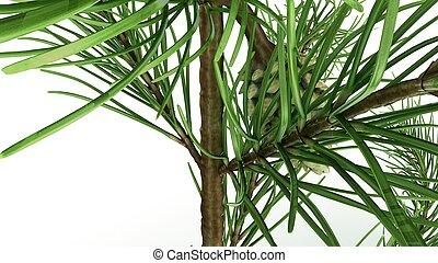 Conifer confitería