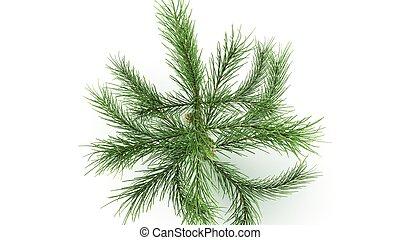 Conifer hoja espectativa