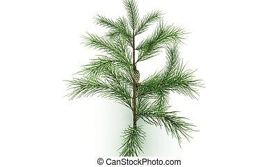 Conifer hojalaerial