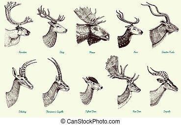 conjunto, gacela, venado, hueva, ciervo, dibujado, más grande, alce, venado, reno, dibatag, eje, cornamenta, alce, impala, cuerno, mano grande, animales, gama, barbecho, grabado, o, kudu