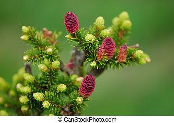 conos del abeto, rama, fresco, pequeño, brotes