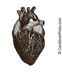 Corazón anatómico humano