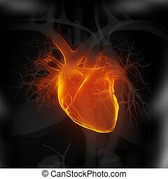 corazón, enfocado, humano