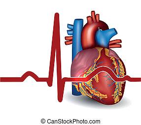 Corazón humano, aislado en blanco