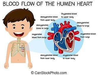 corazón, humano, sangre, flujo
