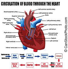 corazón, por, sangre, circulación