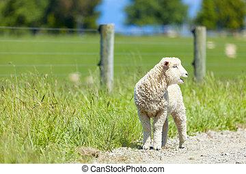 Cordero en la granja