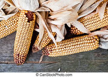 Corn V1