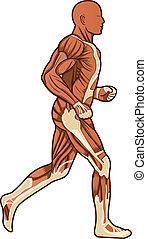 Corriendo vector de anatomía humana