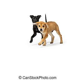 corriente, dos, perritos, juntos