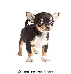 cortocircuito, haired, chihuahua, plano de fondo, frente, blanco, perrito