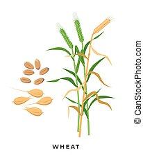 cosecha, granos, -, vector, fondo., cereal, diseño, trigo, aislado, botánico, blanco, planta, pasto o césped, plano, maduro, ilustración, verde