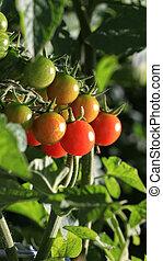 cosecha propia, tomates