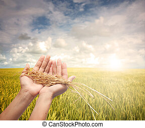 cosechado, tenencia de la mano, arrozal