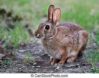 cottontail, cauteloso, conejo conejito
