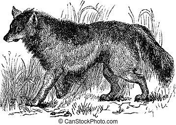 Coyote o Canis latras cosechadas