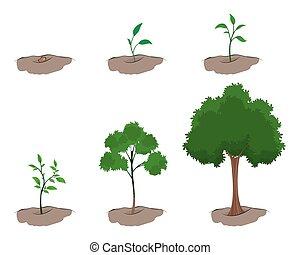crecimiento, árbol, etapa