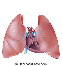 Cruce cardíaco y pulmones
