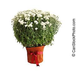 Crysanthemum Bush