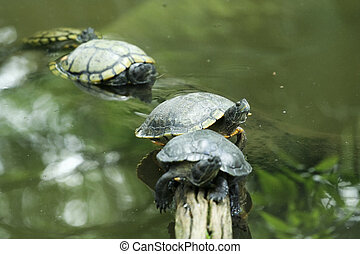 cuatro, alineado, tortugas