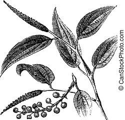 Cubeb o pimienta colada o pimienta java o gaitero cuboba, grabado antiguo