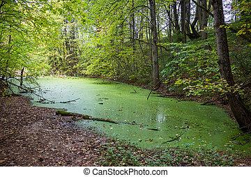 cubierto, poco, pantano, verde, algas