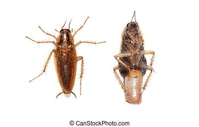 cucaracha, insecto