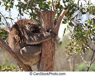 Cuddly koala