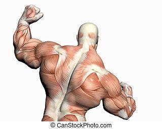 cuerpo, builder., hombre, anatomía